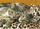 Clementoni Puzzle Koťata mourovatá 1000d 2