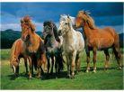 Dino Puzzle Islandští koně 1000dílků 2