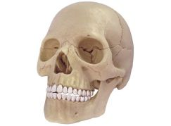 HM Studio Anatomie člověka lebka