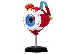 HM Studio Anatomie člověka oko