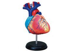 HM Studio Anatomie člověka srdce